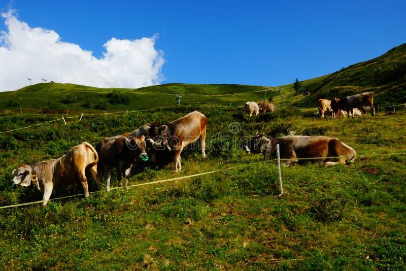 Cattle On Mountain Pastures stock photo