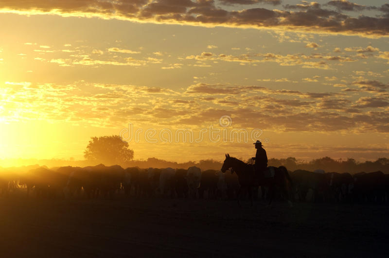 Download Cattle muster stock photo. Image of hereford, stockman - 30478584