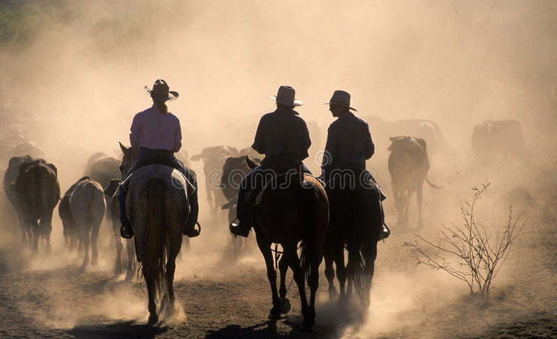 Cattle muster stock photos
