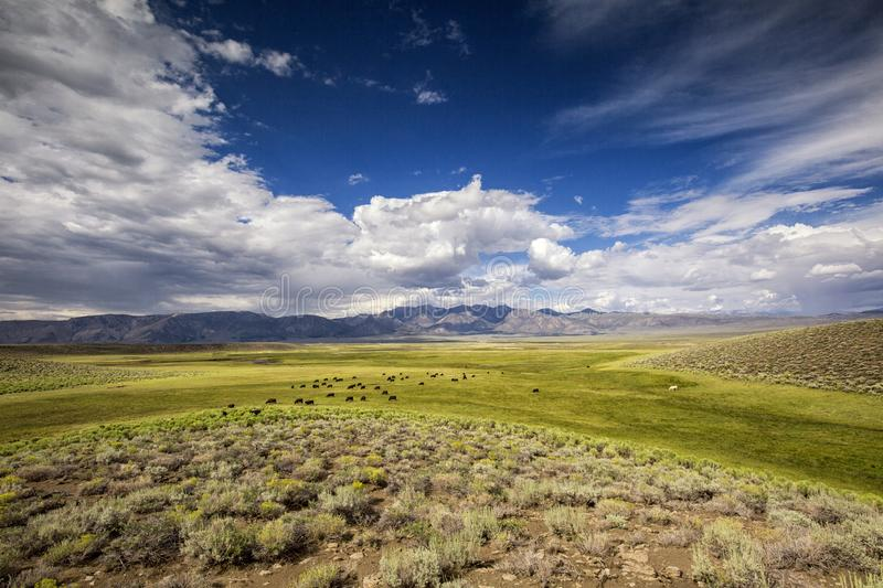 Cattle in California`s Owens Valley stock photos