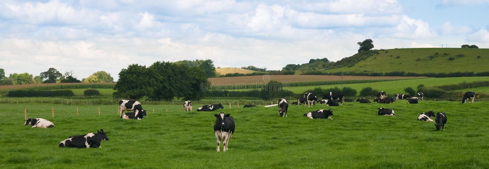 Cattle Panorama royalty free stock images
