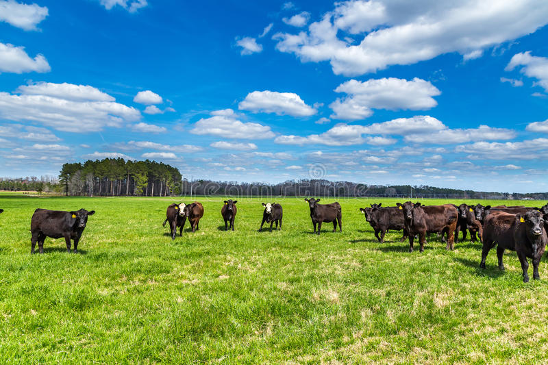 Cattle in a Pasture stock photography