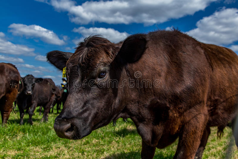 Cattle in a Pasture stock images