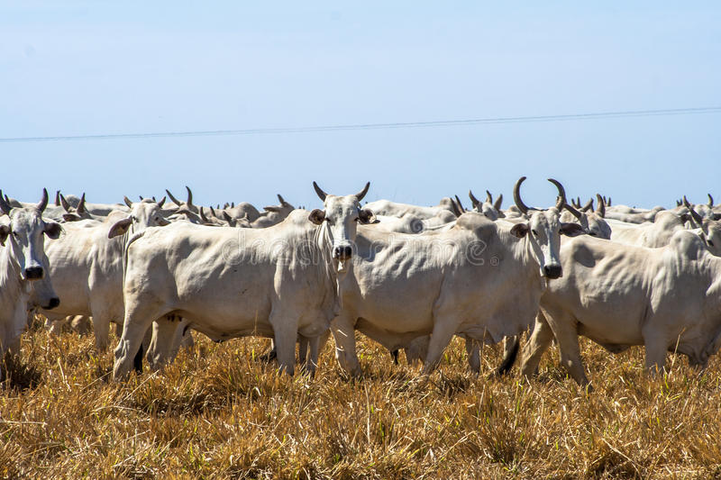Cattle on pasture. A group of Nelore cattle on pasture in Brazil royalty free stock photos