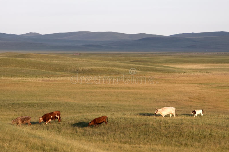 Cattle in prairies stock photo