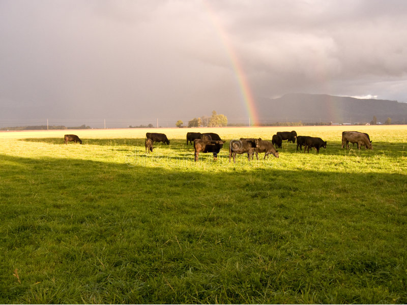 Cattle In The Rain stock images