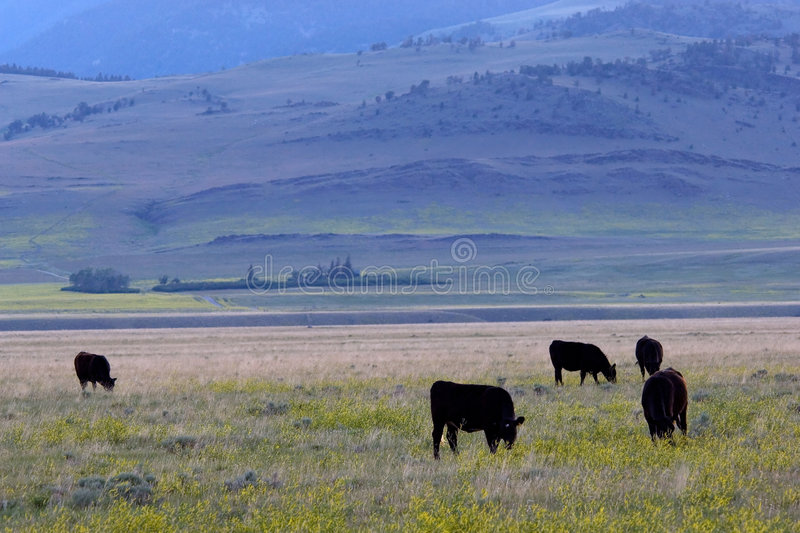 Cattle ranch stock photo
