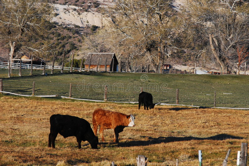 Cattle on a Ranch. Three head of cattle stand in a pasture. A young brown and white bull, sandwiched between to black ones, draws the eye. In the background is a royalty free stock photography