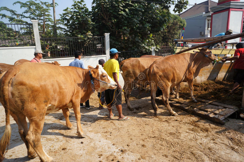 Cattle. Ranchers lowered from a truck in a village in Sukoharjo, Central Java, Indonesia stock photo