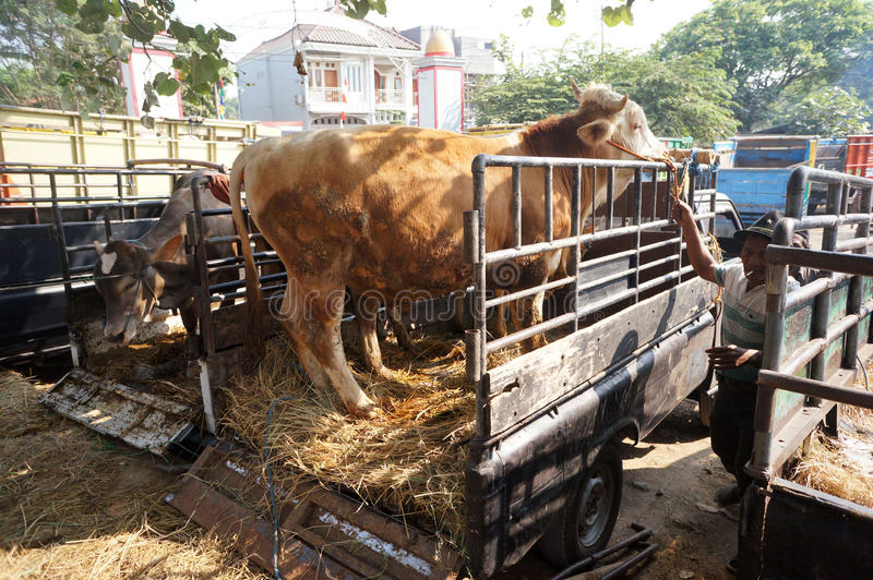Cattle. Ranchers lowered from a truck in a village in Sukoharjo, Central Java, Indonesia royalty free stock photos