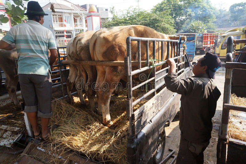 Cattle. Ranchers lowered from a truck in a village in Sukoharjo, Central Java, Indonesia royalty free stock photo