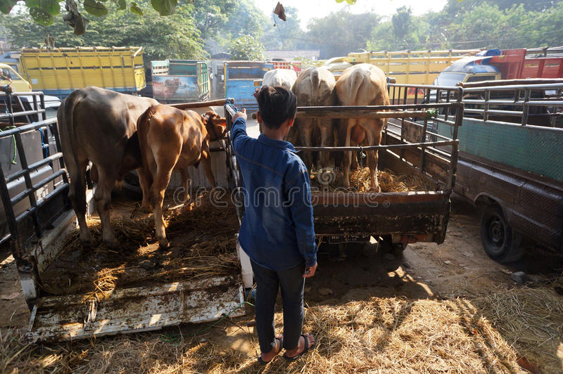 Cattle. Ranchers lowered from a truck in a village in Sukoharjo, Central Java, Indonesia stock photos