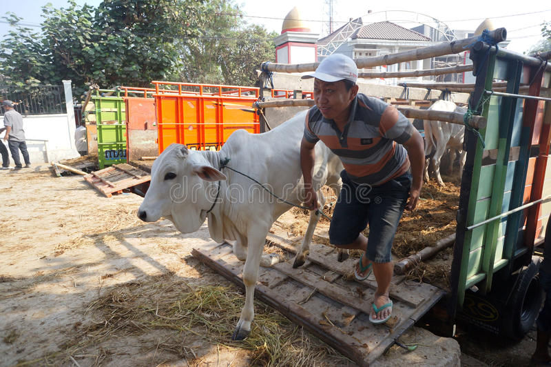 Cattle. Ranchers lowered from a truck in a village in Sukoharjo, Central Java, Indonesia stock image