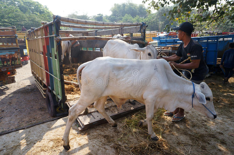 Cattle. Ranchers lowered from a truck in a village in Sukoharjo, Central Java, Indonesia stock photography