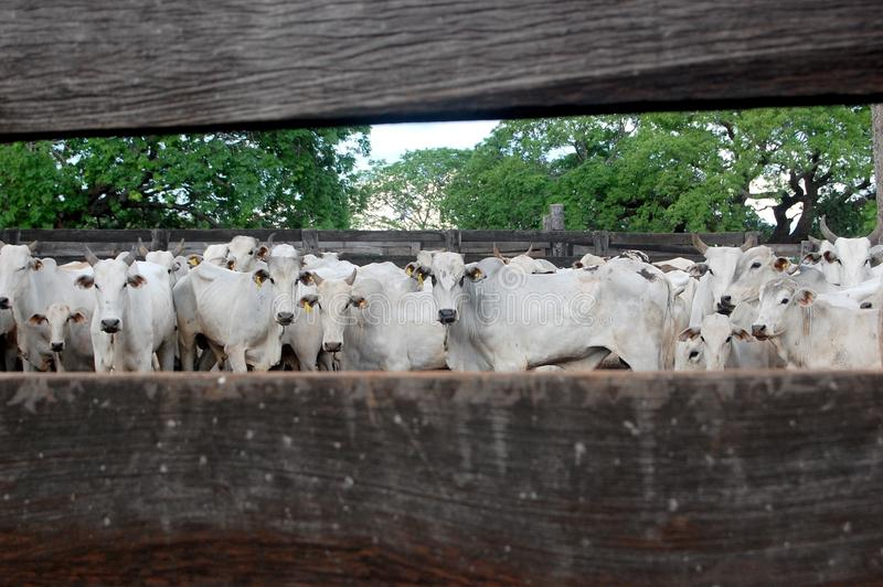 Cattle ranching / Brazil. A cattle ranch in Brazilian Pantanal stock images