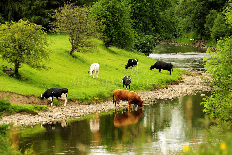 River Cattle, Lancashire royalty free stock images