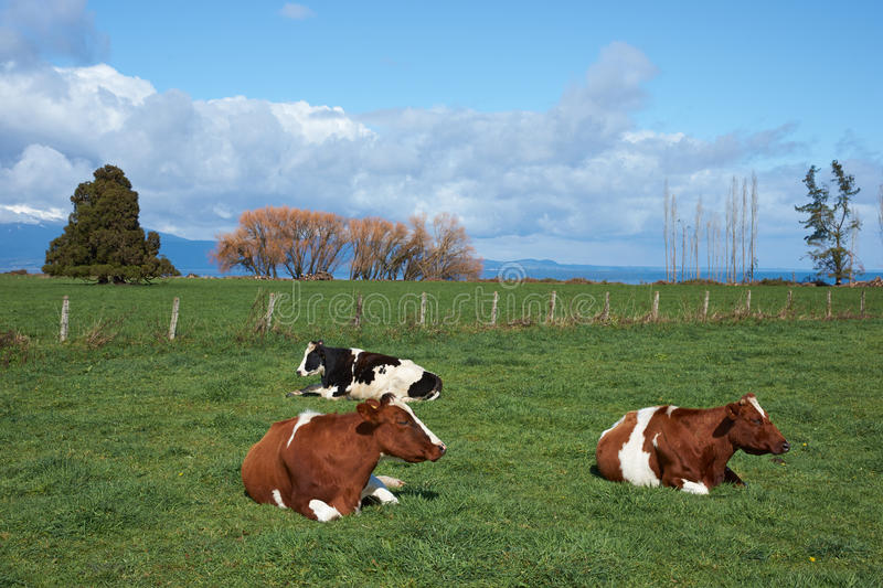 Cattle in Rural Chile stock image