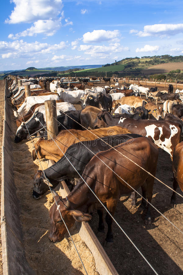 Cattle. SAO PAULO, BRAZIL - June 18, 2008: A group of cattle in confinement royalty free stock photo