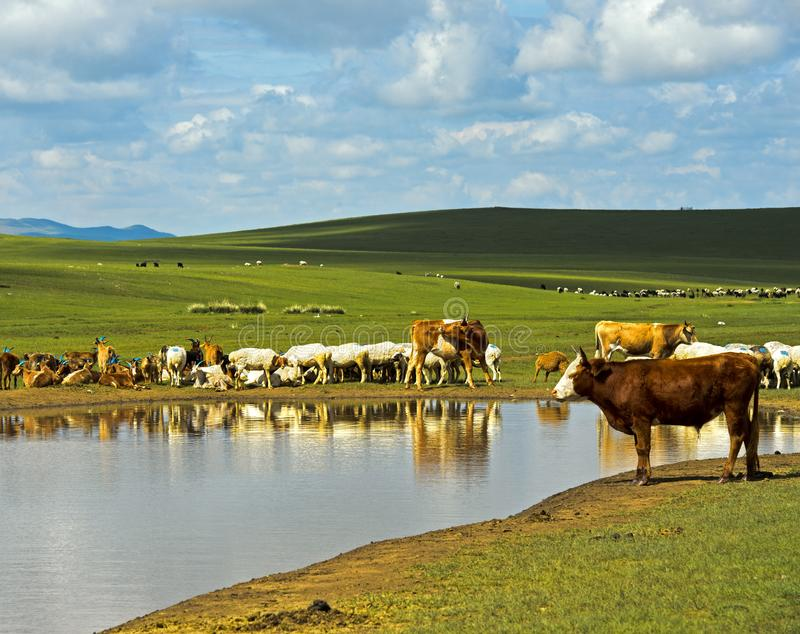 Cattle and sheep at a water hole in the Mongolian steppe stock image