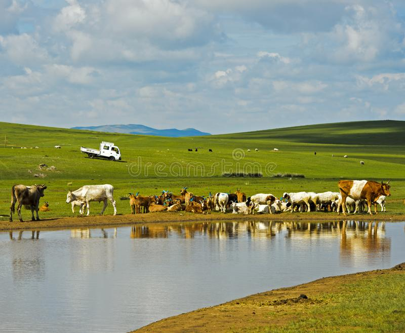 Cattle and sheep at a water hole in the Mongolian steppe royalty free stock photo