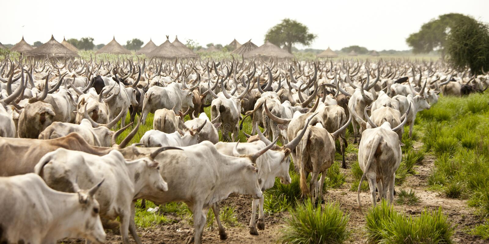 Download Cattle in South Sudan stock photo. Image of village, landscape - 25779996