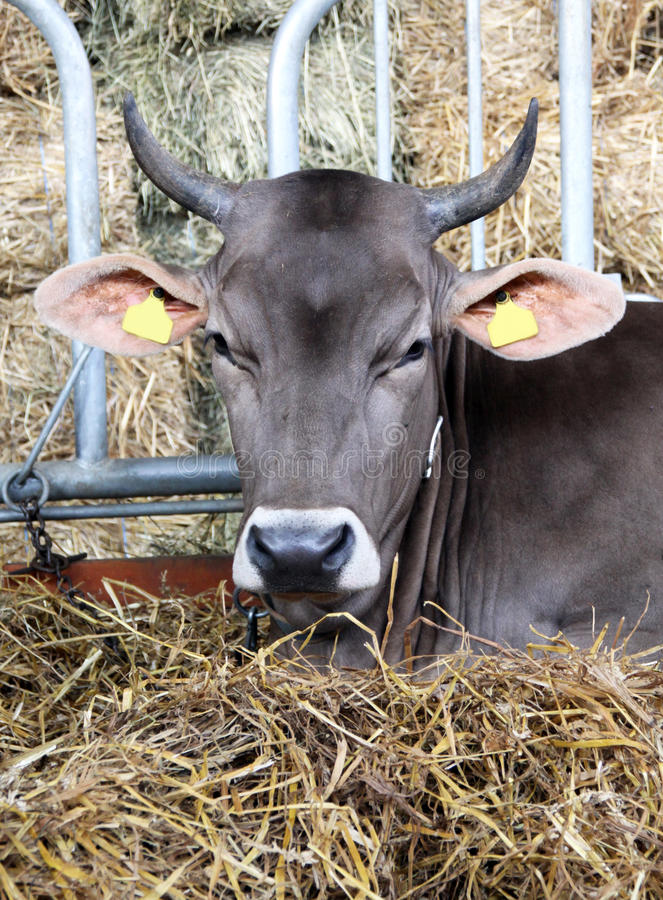 Download Cattle In Stable With Fodder Stock Photo - Image: 20856792