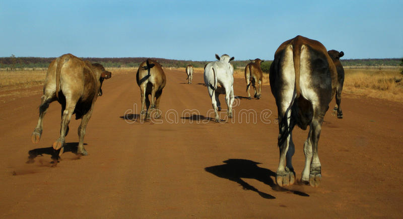 Cattle Stampede. Cattle galloping along the Gibb River Road in Outback Western Australia stock images