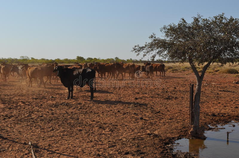 Cattle in stockyard pens australia outback oasis drought. Cattle cows steere beef in paddock pens stockyard next to watering hole drought royalty free stock photos