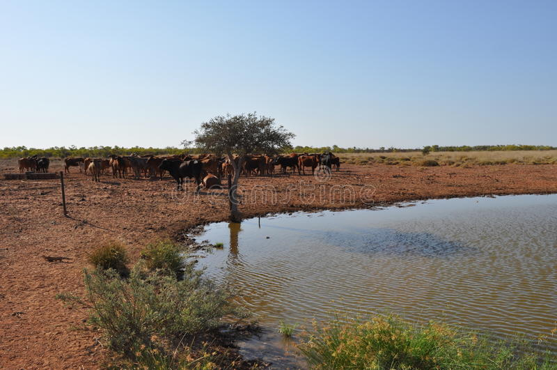 Cattle in stockyard pens australia outback oasis. Cattle cows steere beef in paddock pens stockyard next to watering hole grazing royalty free stock photography
