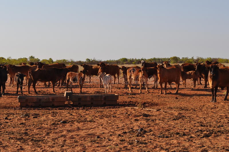 Cattle in stockyard pens australia outback with water trough. Cattle cows steere beef in paddock pens stockyard water trough beef stock photography