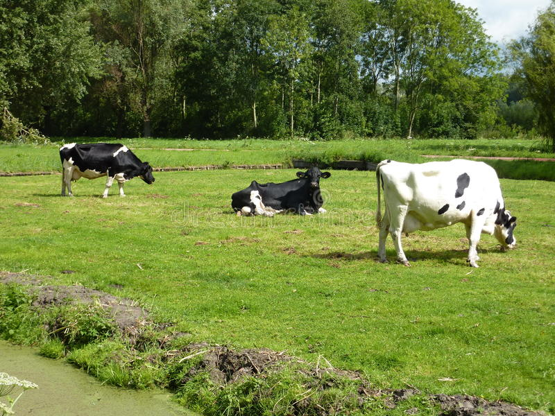 Cattle At Summertime Royalty Free Stock Image