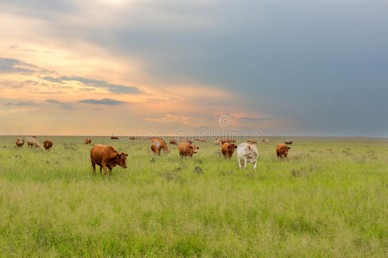Cattle at sunset. South Africa stock photography