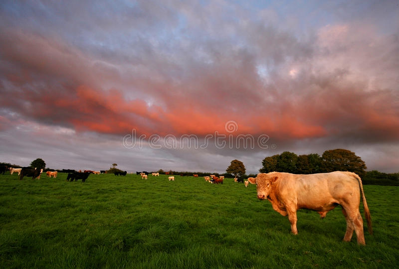 Download Cattle At Sunset South Hams Stock Image - Image: 12349911