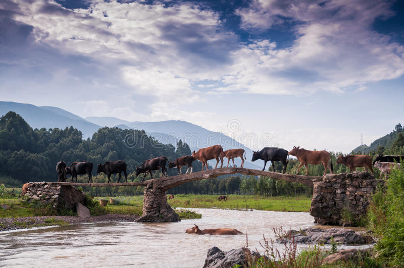 A cattle teams acrossing bridge. A cattle teams were acrossing the bridge.This scene appeared at Liangshan yi autonomous prefecture, sichuan province of china stock photography
