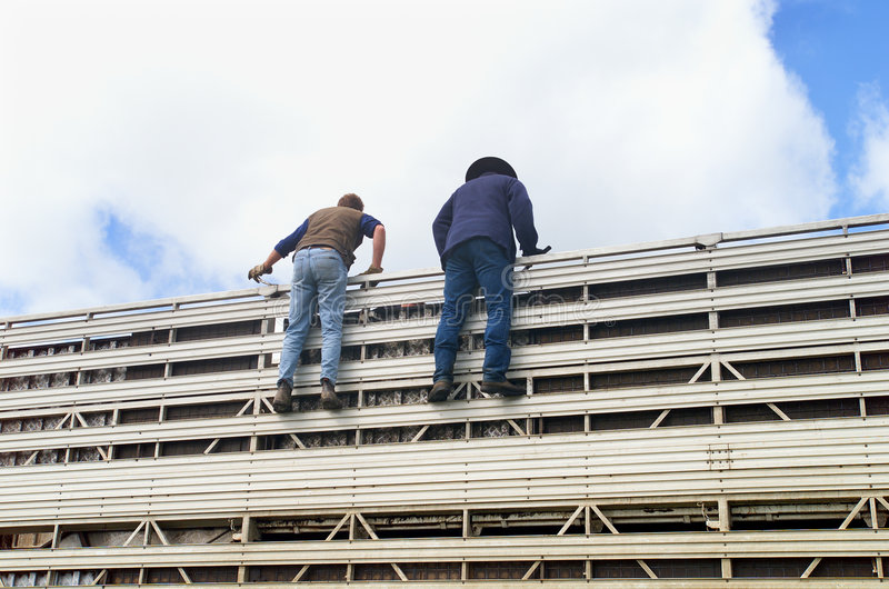 Cattle Truck. Two Cowboys standing at top of Cattle transport truck, helping to get the Cattle off the truck stock photos