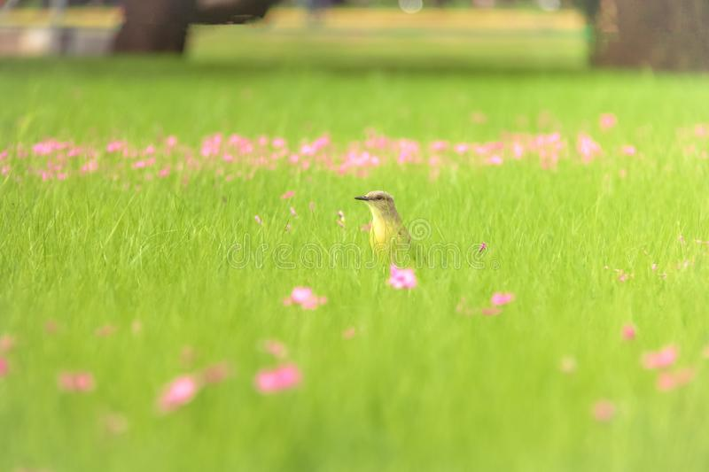 Cattle Tyrant bird on a high grass green field with pink flowers at Bosques de Palermo - Buenos Aires, Argentina. Cattle Tyrant bird Machetornis rixosa on a high royalty free stock images