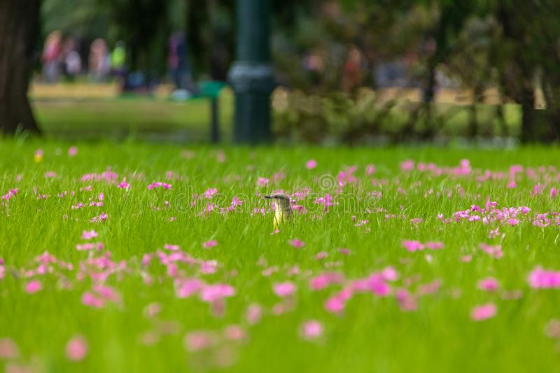 Cattle Tyrant bird on a high grass green field with pink flowers at Bosques de Palermo - Buenos Aires, Argentina. Cattle Tyrant bird Machetornis rixosa on a high royalty free stock photo