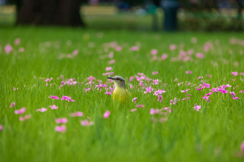 Cattle Tyrant bird on a high grass green field with pink flowers at Bosques de Palermo - Buenos Aires, Argentina. Cattle Tyrant bird Machetornis rixosa on a high stock image