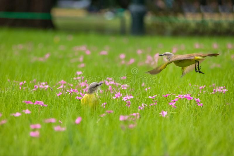Cattle Tyrant birds on a high grass green field with pink flowers at Bosques de Palermo - Buenos Aires, Argentina. Cattle Tyrant birds Machetornis rixosa on a stock photos