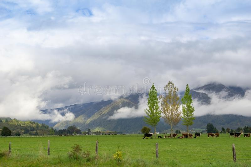 Cattle under three trees in flat fields surrounded by cloud covered South Island hills, New Zealand. Cattle under three trees in flat fields surrounded by cloud stock photo