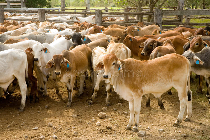Cattle in yards stock photos