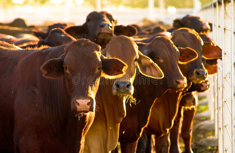 Cattle in yards royalty free stock images