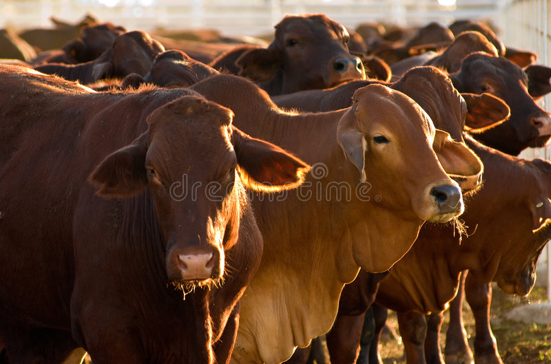 Cattle in yards stock image