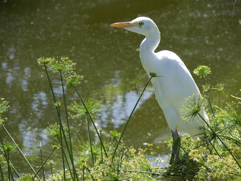 Download CattleEgretPapyrus stock photo. Image of bubulcus, egret - 3257260