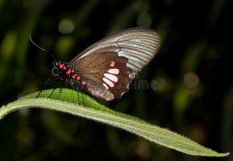 Download Cattleheart Butterfly - Parides Anchises Stock Photo - Image: 11984334