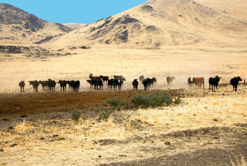 Cattles är betande royaltyfri foto