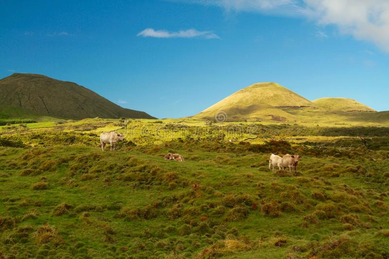 Cattles on Field Overlooking Mountains Under Blue Skt stock image