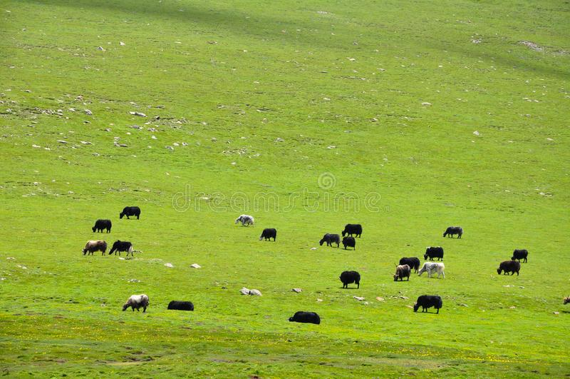 Cattles stado na paśniku fotografia stock