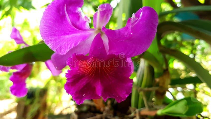 Cattleya, орхидея, цветки стоковые фотографии rf