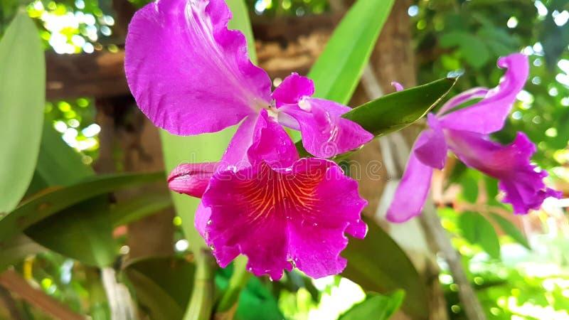 Cattleya, орхидея, цветки стоковое изображение rf